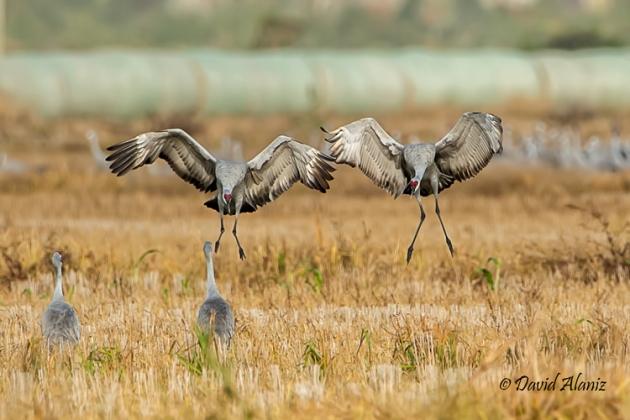 Sandhill-Cranes_20131116_0596web